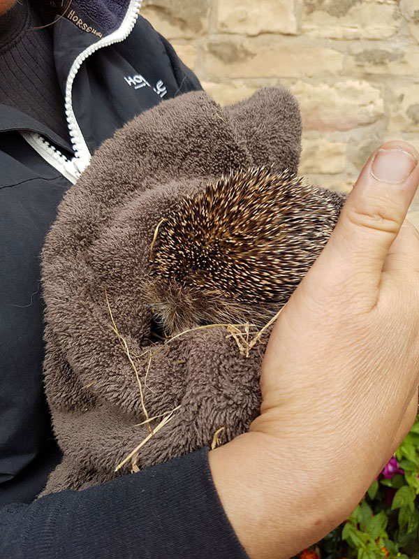Hungry hedgehog rescue