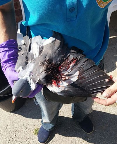 Prayer for poor injured Pigeon