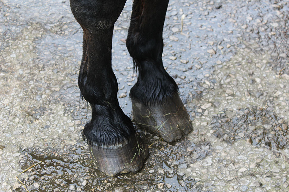 overgrown horses feet