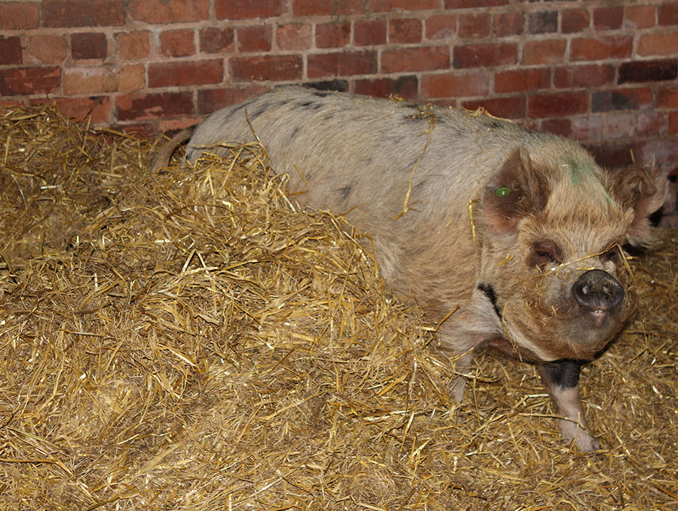 Polly the pig