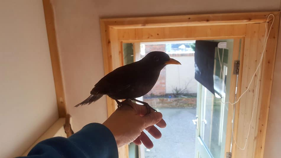 Perry blackbird
