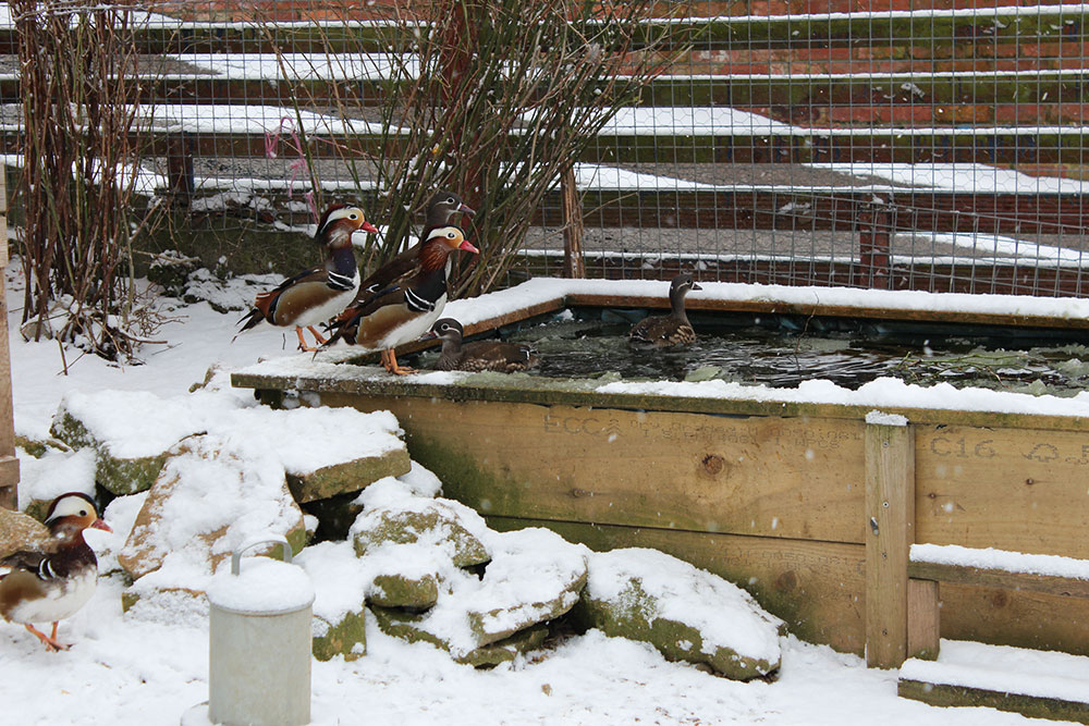 Ducks love the snow