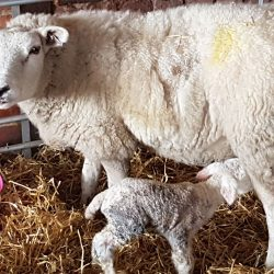 Snow Lambs as blizzard hits UK