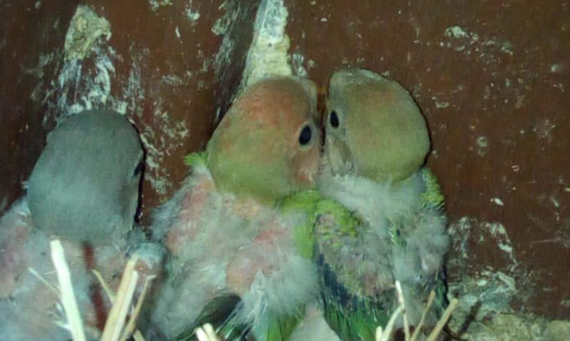 Nanu Nanu Lovebirds Surprise