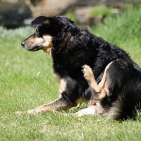 dog scratching fleas