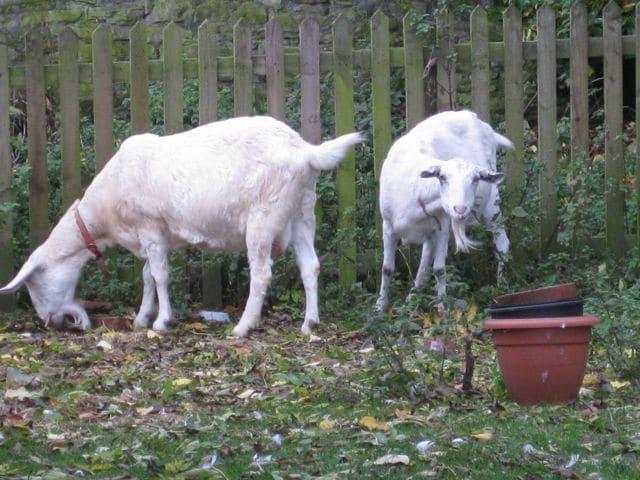 R Goats Good Pets Goat gardeners ...