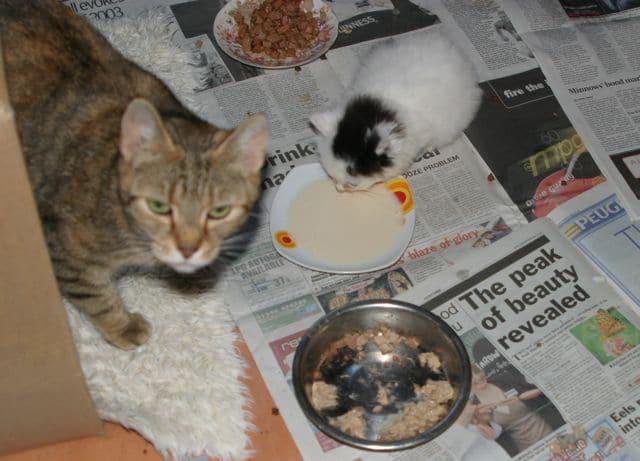 Foster mum saves orphan kitten