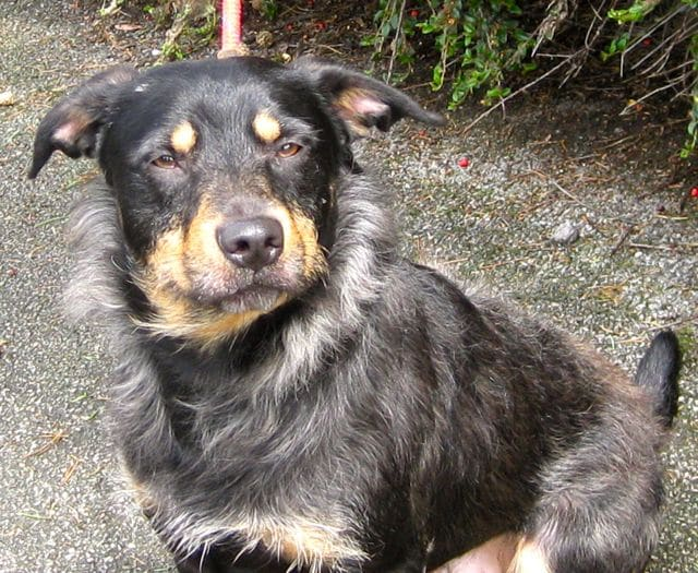 Cute collie needs a new home