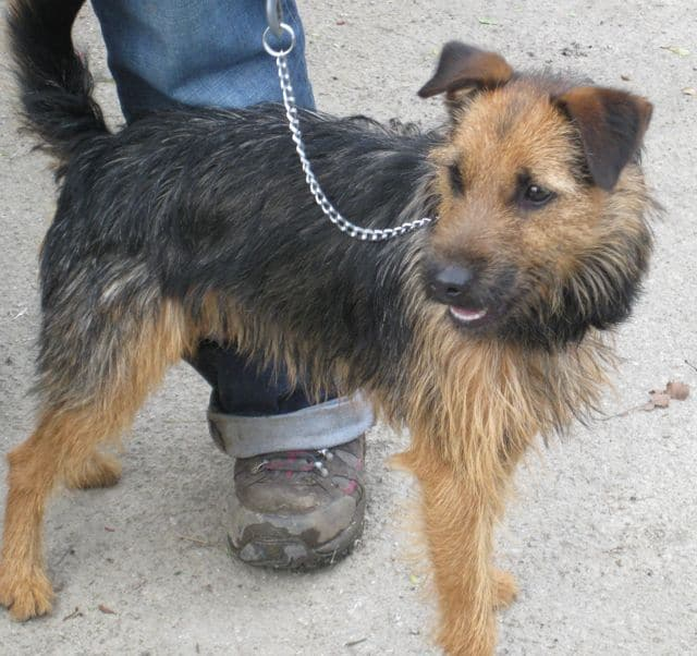 Fussy little Patterdale for adoption