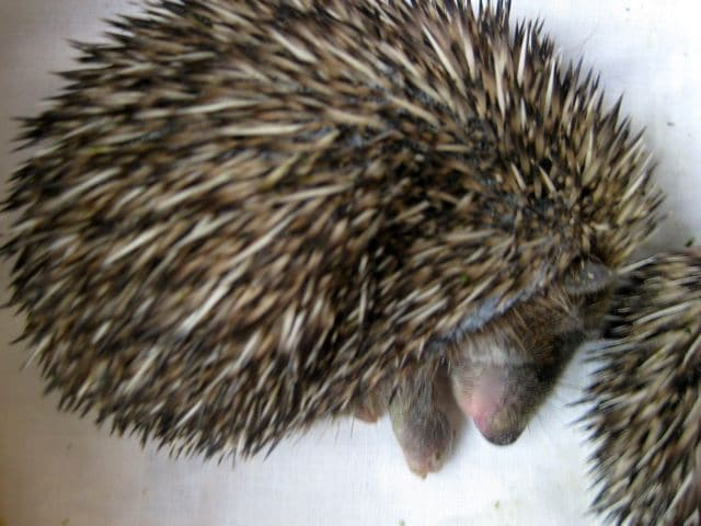 Safe at Last in Hedgehog Hospital
