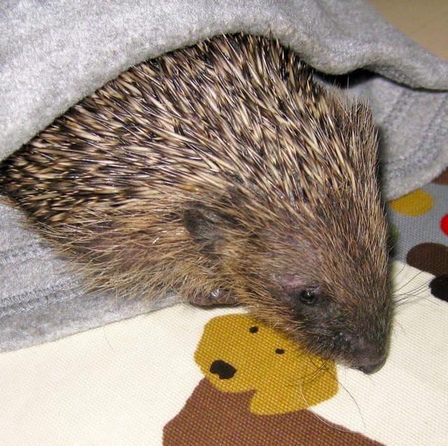 Hedgehog is snug in a hat