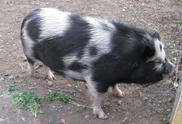 pigs - kevin 4