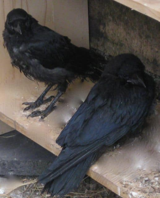 Crow and Jackdaw are best buddies