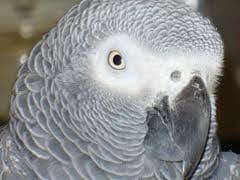 birds -; african grey