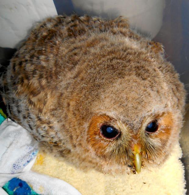 baby owl enjoyed his breakfast pet samaritans. Black Bedroom Furniture Sets. Home Design Ideas