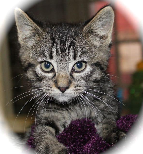 Silver tabby kitten for adoption - Pet Samaritans