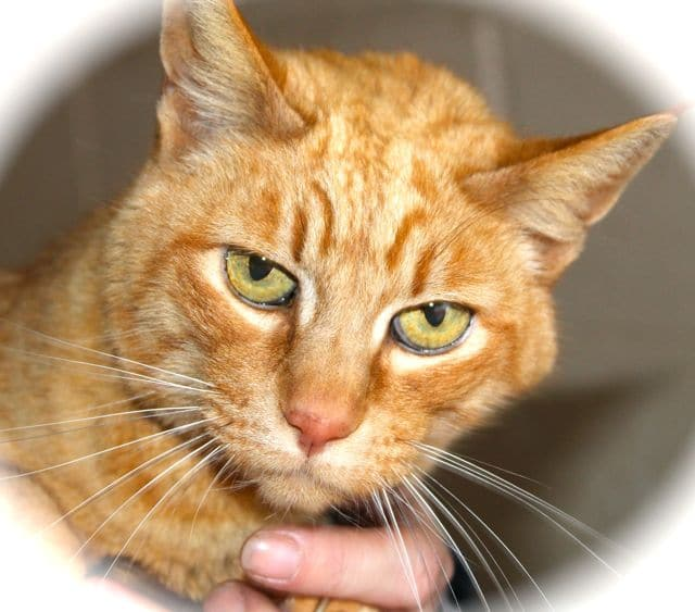 Ginger lady cat for adoption