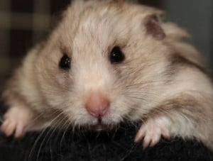 hamsters - big daddy