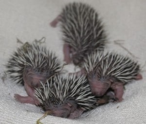 hedgehog orphans 4