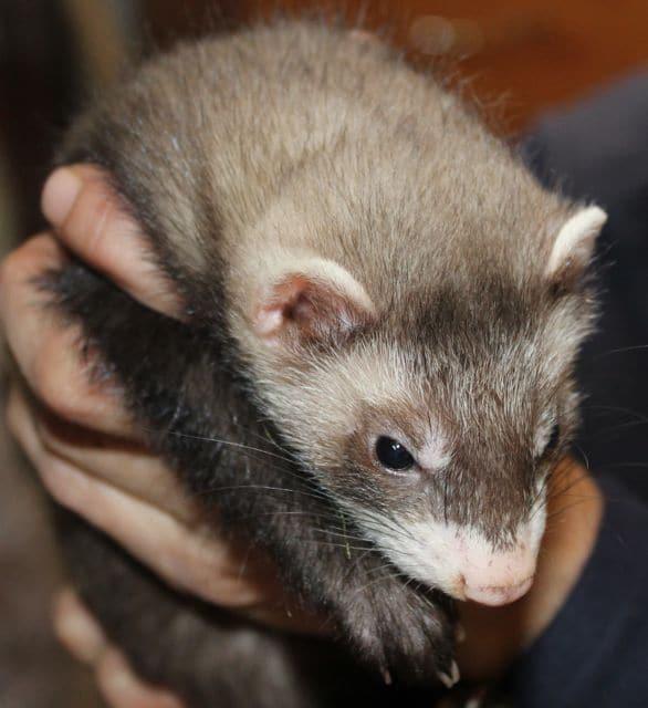Ferret rescue