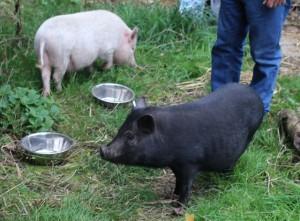 pigs - peppa & perky