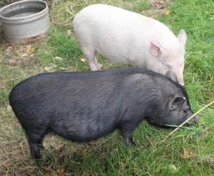 pigs - pinky