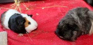 guinea pigs - 6
