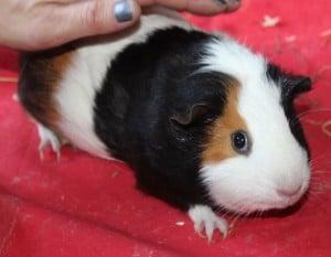 guinea pigs - anna