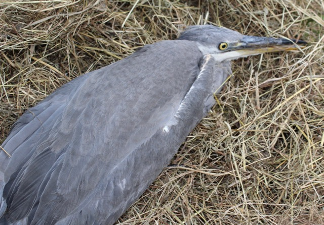 Grey heron brought in with injured leg