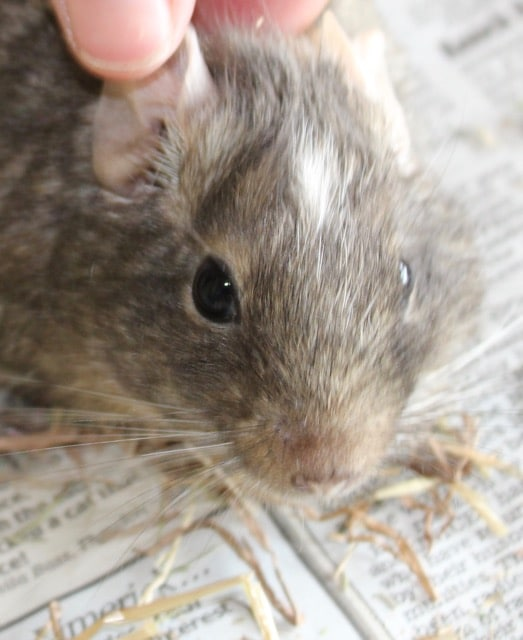 Pair of delightful Degus for adoption