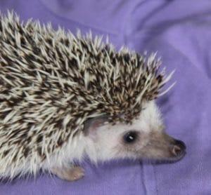 African Pygmy Hedgehog for adoption