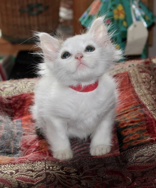 Snowball kitten ready for a new home