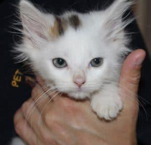 kittens-snowball-4-1