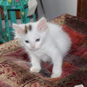 kittens-snowball-5-1