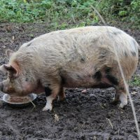 Polly the Pig for Adoption