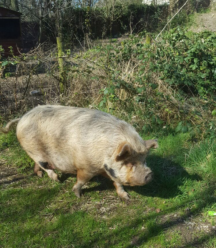 Polly Pig – Rehomed