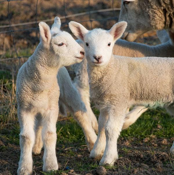 Lamb Grand National