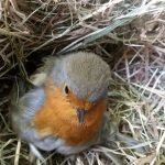 Wildlife rescue robin