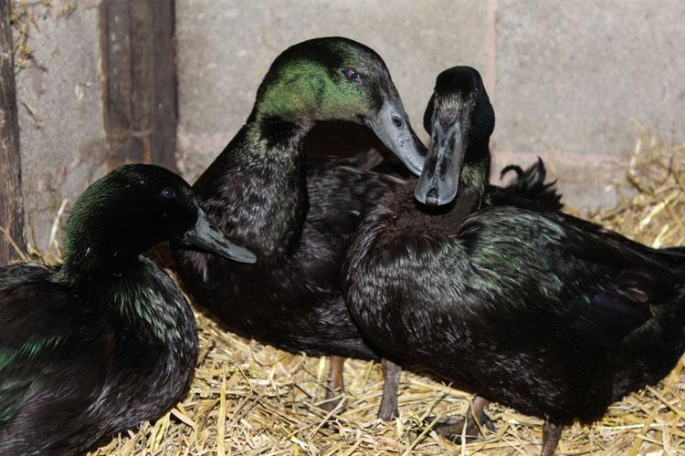 Trio Cayuga Ducks