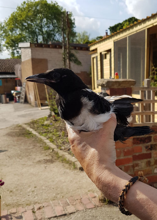Injured Magpie at the Wildlife Rescue Centre