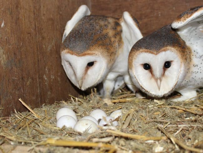 Barn Owls are Broody