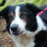 Toby Collie for Adoption