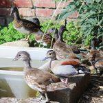 Duck Gang