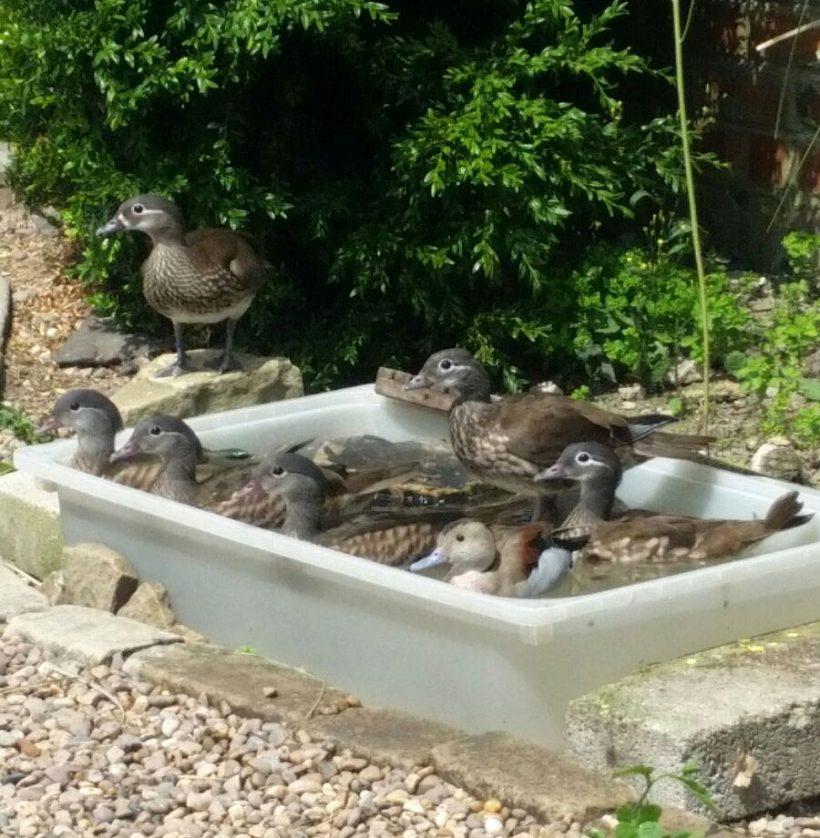 Seven Lucky Ducks make a splash at the Sanctuary