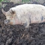 Polly Pig in muck
