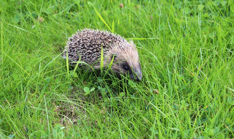 Love is in air at Hedgehog Hospital