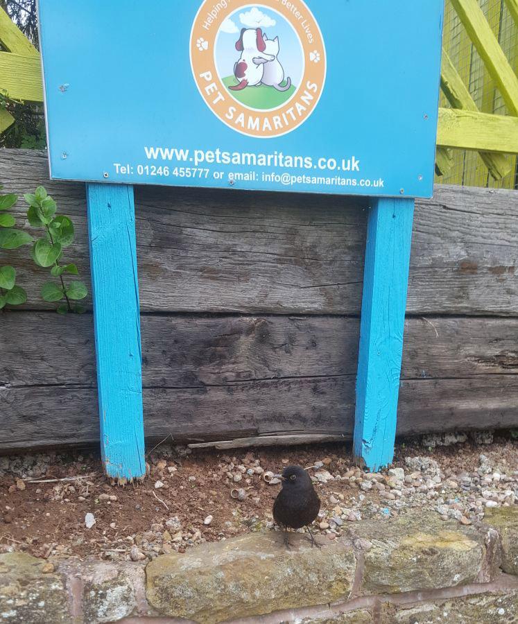 Perry the blackbird rescue