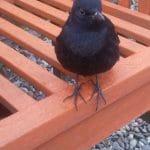 Perry the blackbird