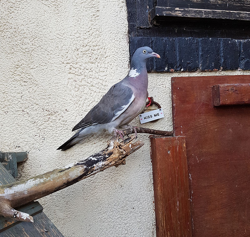Injured pigeon at the sanctuary