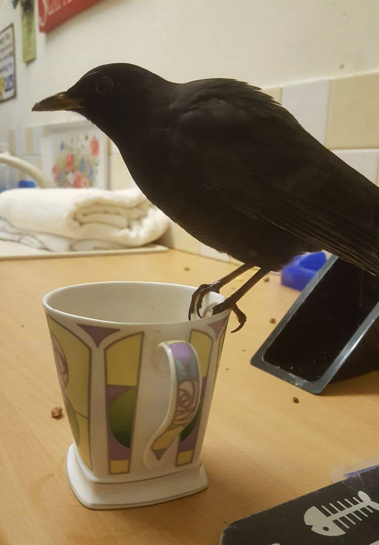 Perry the blackbird on a cup of tea